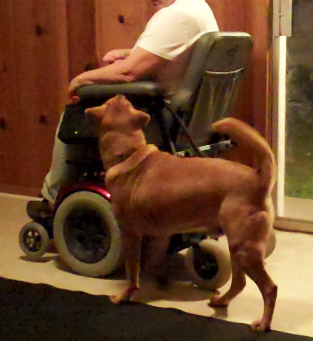 The service dog, Chester, walking beside his owner in their wheelchair