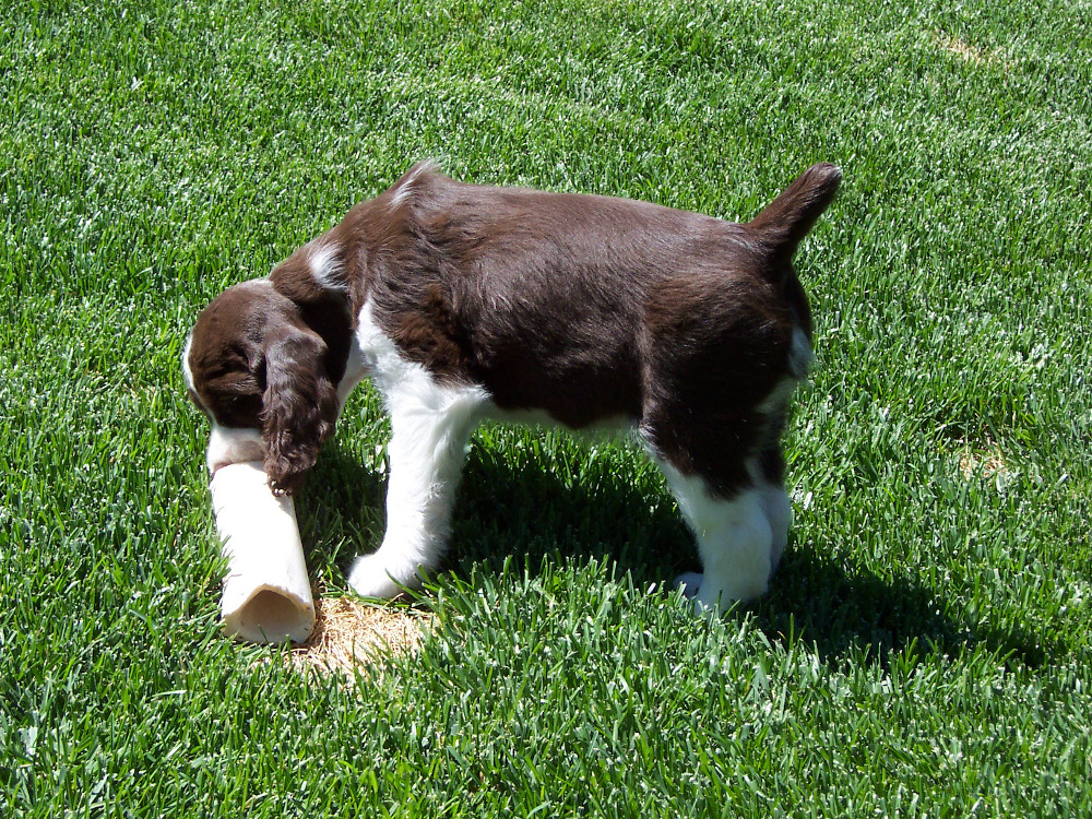 After a training session with this puppy, you see him engaging in a healthy enrichment activity!